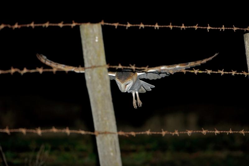 coruja-das-torres-5