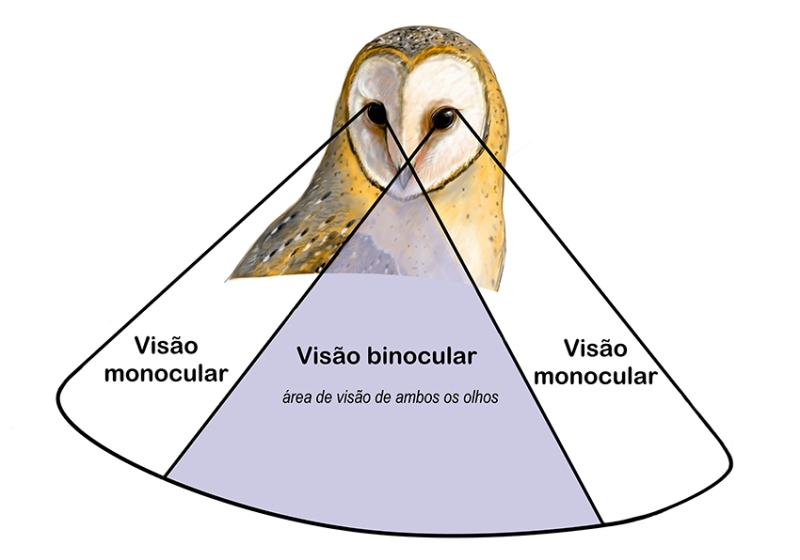 tyto-visao-binocular